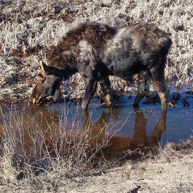 moose algonquin