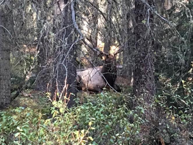 Elk Banff