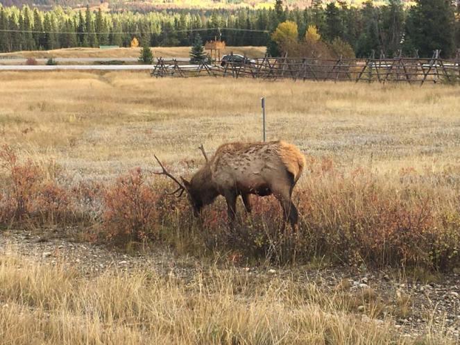 Elk Jasper 1